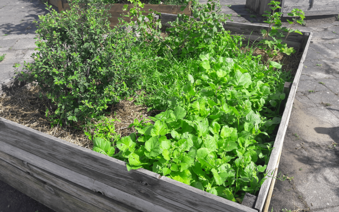 HU science podcast: Dr. Ina Säumel and the «Edible City» – on the functions and advantages of urban gardens